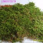 供应活苔藓园艺资材盆面覆盖